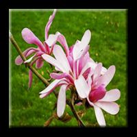 Magnolia Loebneri 'Leonard Messel' / Магнолия хибридна  'Leonard Messel'