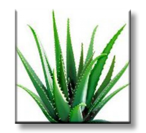 Aloe Barbadensis Miller / Алое Барбадензис Милър (Алое вера)
