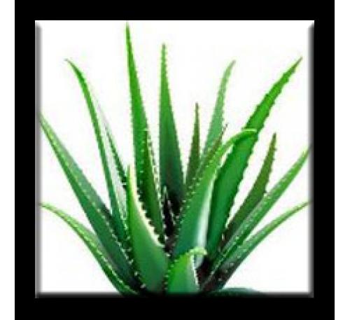 Aloe Barbadensis Miller / Алое Барбадензис Милър (Алое вера)