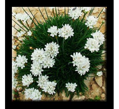 Armeria maritima alba / Армерия бяла