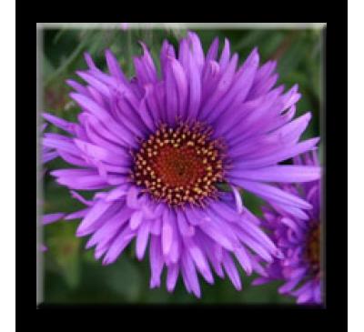 Aster Purple Dome / Есенна Астра