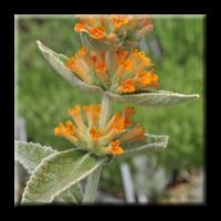 Buddleja Orange Scepter / Будлея оранжева