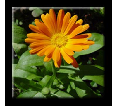 Calendula officinalis / Невен