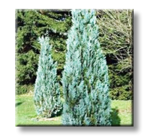 Chamaecyparis lawsoniana Columnaris / Лъжекипарис Колоновиден – син