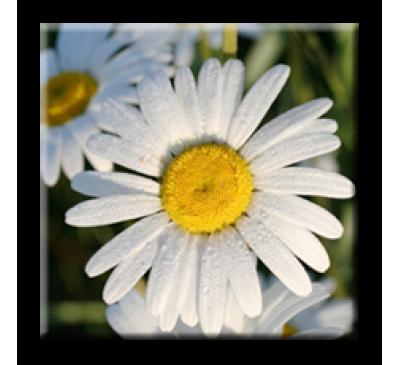 Chrysanthemum leucanthemum  / Маргарита бяла