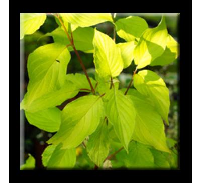 Cornus alba Aurea / Сибирски дрян жълтолистен