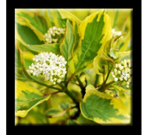 Cornus alba Spaethii