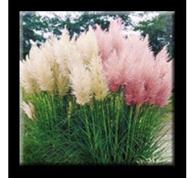Cortaderia selloana / Кортадерия, Пампаска трева
