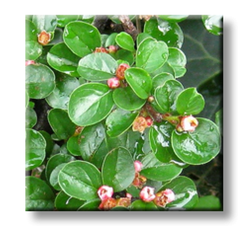 Cotoneaster horizontalis / Котонеастър хоризонталис Рубин