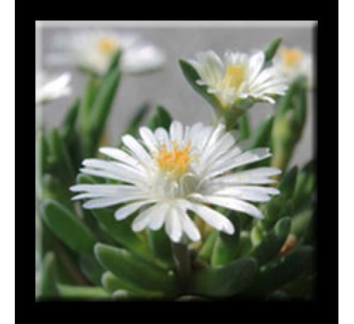 Delosperma litorale / Делосперма бяла