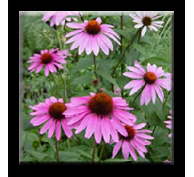 Echinacea purpurea / Ехинацея