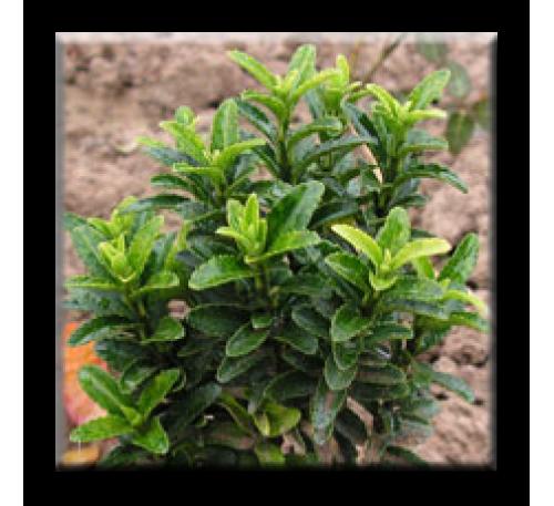 Euonymus japonicus Microphila green / Микрофила Зелена