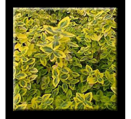 Euonymus fortunei 'Emerald 'n Gold' / Радиканс жълто-зелен