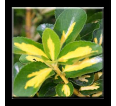 Euonymus japonicus Aureus / Японски чашкодрян пъстролистен