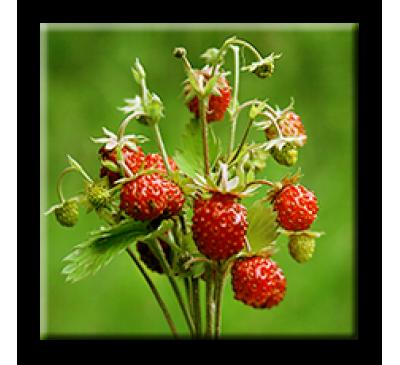 Fragaria vesca L. / Ягода горска