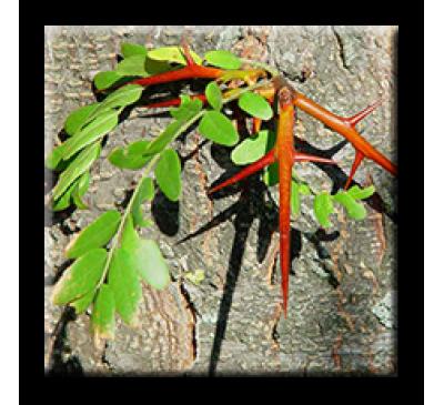 Gleditsia triacantha L. / Гледичия