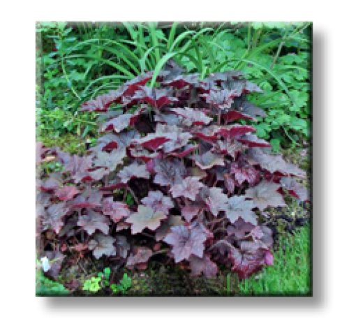 Heuchera micrantha Palace Purple / Хойхера Червенолистна