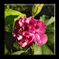 Hibiscus / Хибискус градински пурпурен, кичест