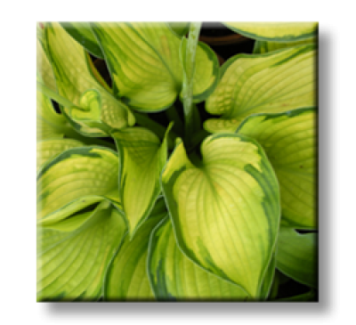 Hosta Bright Lights / Хоста