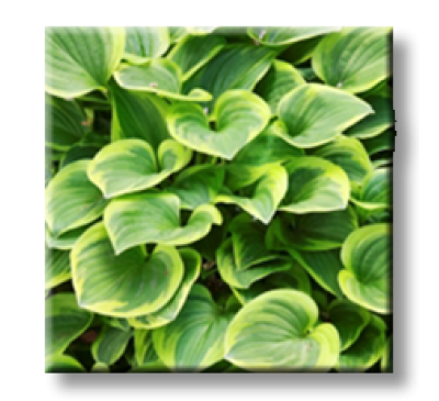 Hosta Golden Tiara / Хоста Златна Тиара