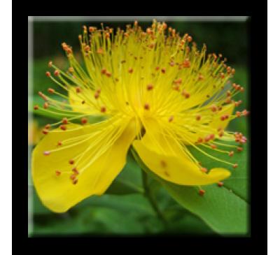 Hypericum calycinum / Хиперикум
