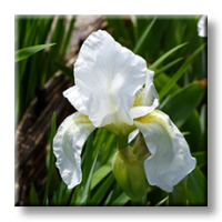 Iris florentina / Перуника бяла