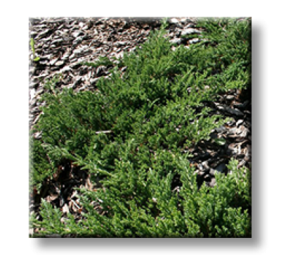 Juniperus horizontalis Prince of Welsh