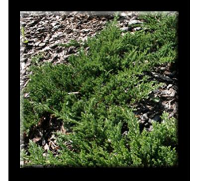 Juniperus horizontalis Prince of Welsh