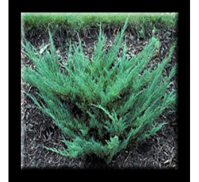 Juniperus horizontalis Plumosa