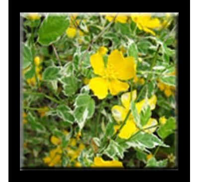 Kerria japonica variegata / Керия японика пъстролистна