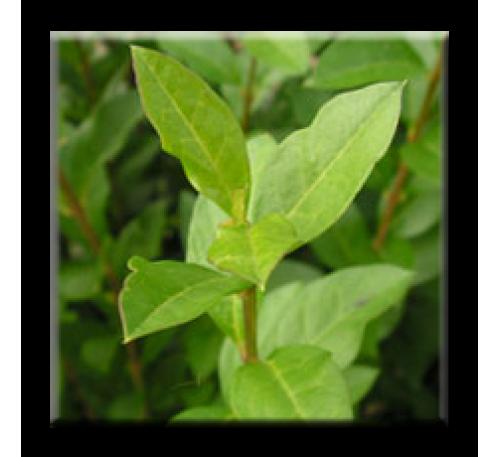 Ligustrum ovalifolium / Лигуструм