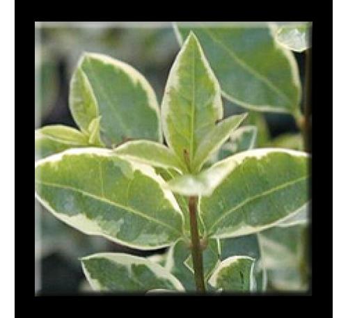 Ligustrum ovalifolium Argenteum / Лигуструм бяло-зелен