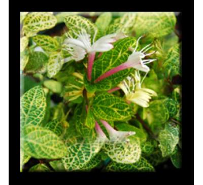 Lonicera japonica Aureo Reticulata / Лоницера