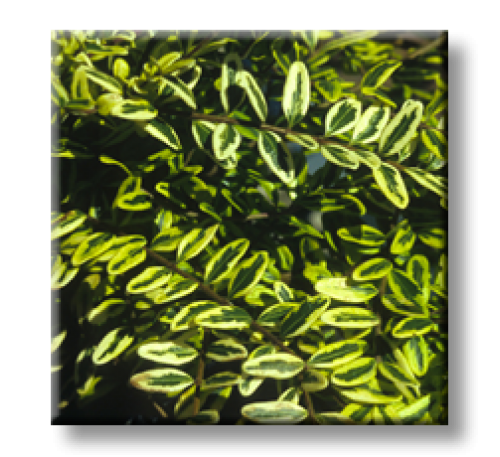 Lonicera nitida Lemon Beauty / Лоницера пъстролистна