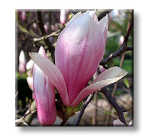 Magnolia soulangeana / Суланжова магнолия