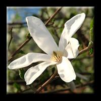Magnolia Stellata / Магнолия Стелата