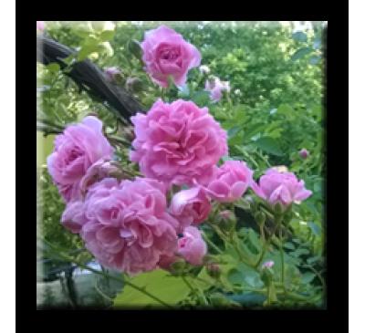 Mini rose / Мини роза - розова, катерлива
