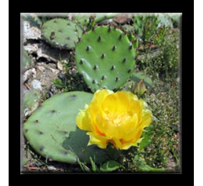 Opuntia / Опунция