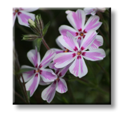 Phlox subulata Candy Stripe / Флокс стелещ