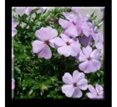 Phlox subulata  / Флокс стелещ светло лилав