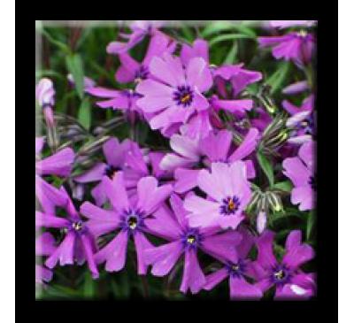 Phlox subulata PURPLE BEAUTY / Флокс стелещ лилав