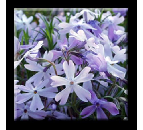 Phlox subulata Emerald Cushion blue / Флокс син