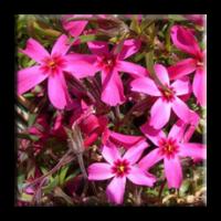 Phlox subulata / Флокс червен