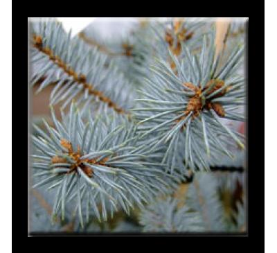Picea pungens / Сребрист смърч