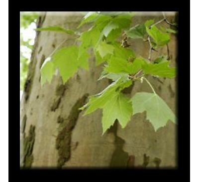 Platanus x acerifolia / Яворолистен чинар