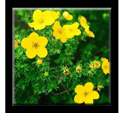 Potentilla fruticosa / Потентила очиболец