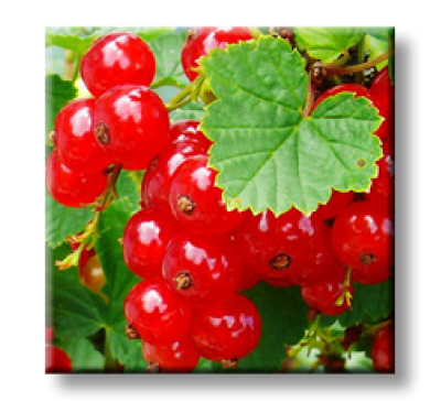 Ribes rubrum / Червено френско грозде