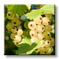 Ribes rubrum white pearl / Бяло френско грозде
