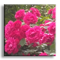 Rosa Multiflora / Трендафил червен
