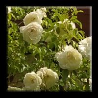 Rosa Multiflora / Трендафил бял